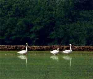 I Cigni selvatici di Rivarolo: da dove vengono e dove vanno?