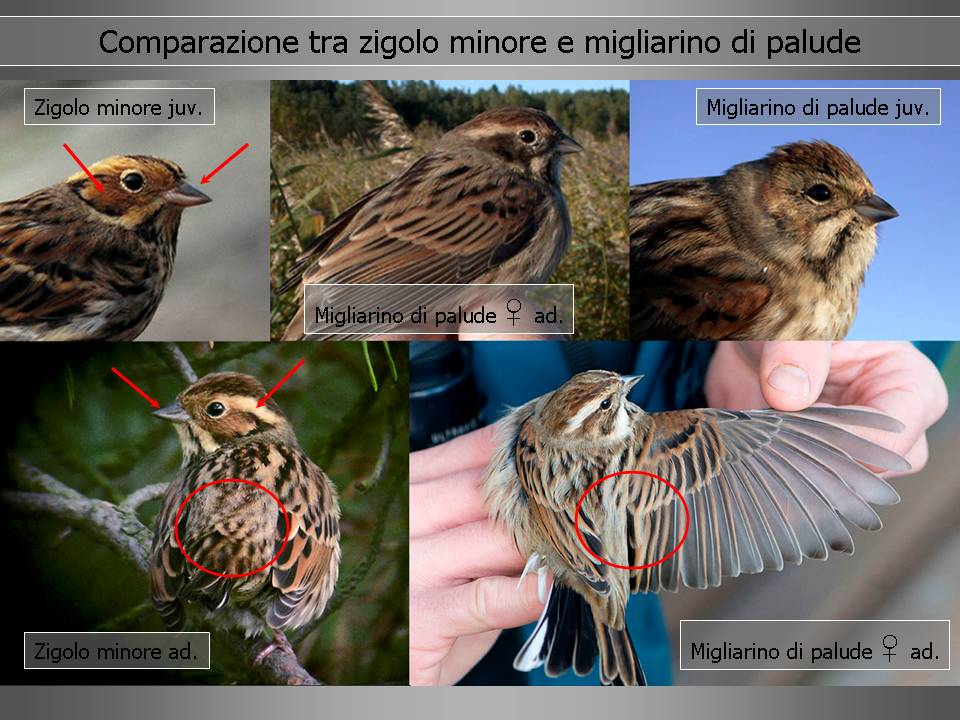 Una specie rara in Piemonte ma non impossibile, lo Zigolo minore
