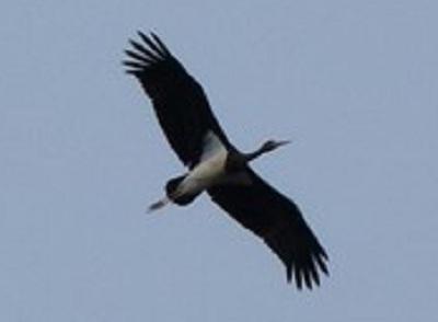 Cicogna-nera