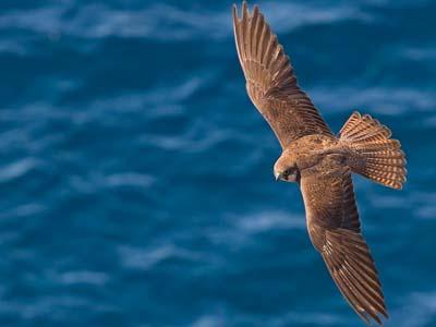 Falco-della-regina