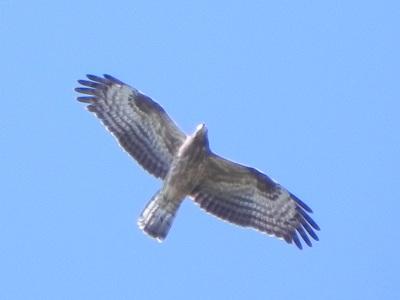 Falco-pecchiaiolo