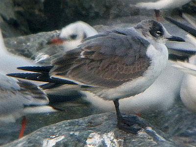 Gabbiano-di-franklin