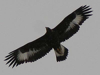 Aquila-reale
